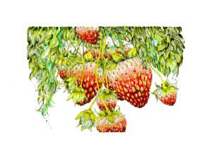 Erdbeeren_web