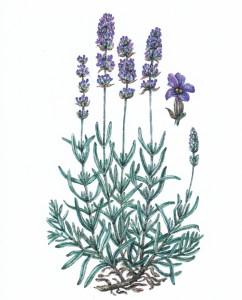Wendt-Schiller Lavendel
